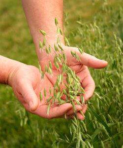 kädet pitelevät vihreää kaurantähkää, taustalla kaurapelto